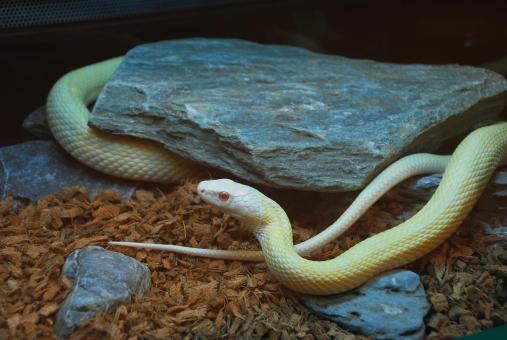 蛇のアルビノ画像